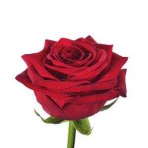 """ROSE """"RED NAOMI"""""""