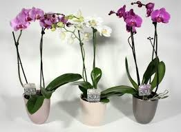 ORCHID (2 STRANDED) IN POT