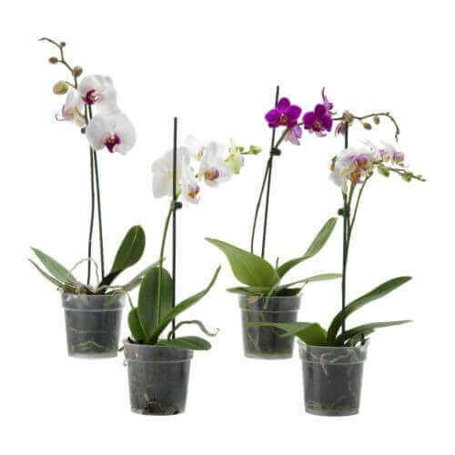 ORCHID (1 BRANCH)