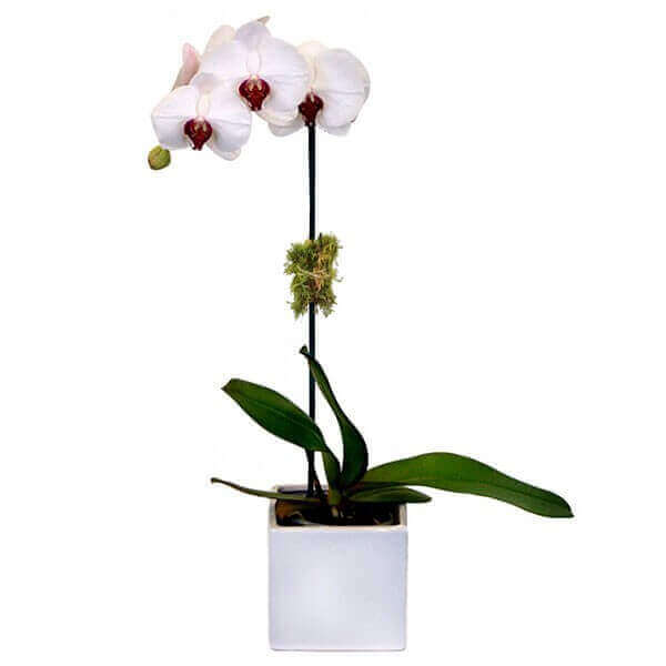 ORCHID (1 BRANCH) IN A POT