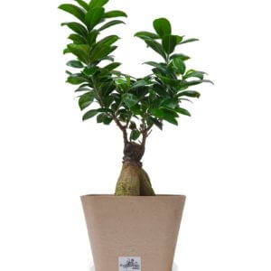 FICUS GINSENG SMALL