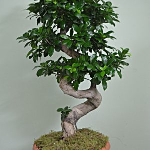 FICUS GINSENG LARGE